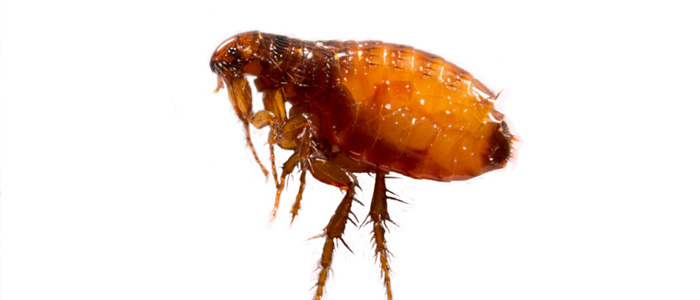Flea Control Plympton
